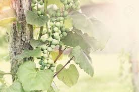 sunny bunch of grape clusters growing up a post in a rural