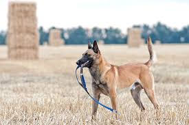 belgian shepherd labrador cross belgian malinois dog breed information pictures characteristics