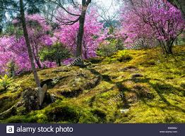 spring in japan japanese moss garden with cherry blossoms in