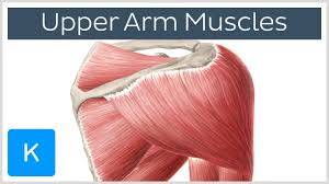 Anatomy Of Body Muscles Muscles Of The Upper Arm And Shoulder Blade Human Anatomy