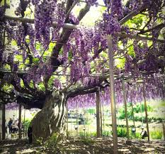 see smell u0026 even eat wisteria all about japan
