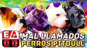 american pitbull terrier kennels in michigan the american pitbull terrier apbt vs the dog lines type pitbull