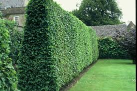 hedging plants budget wholesale nursery privet ligustrum vulgare 20 extra seeds fast growing hedge plant