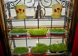 home gardeners can grow microgreens mississippi state university
