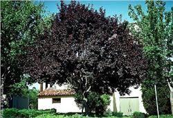 purpleleaf plum tree on the tree guide at arborday org