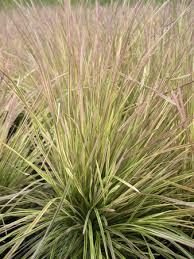 blue sky nursery ornamental grass grass deschsia northern
