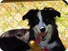 australian shepherd idaho marlee the australian shepherd loves autumn i love aussies
