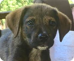 bluetick coonhound rescue california hagerstown md bluetick coonhound mix meet orange a puppy for