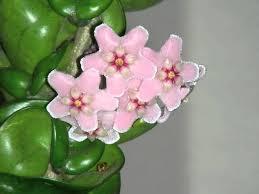 hoya indian plant flowering youtube