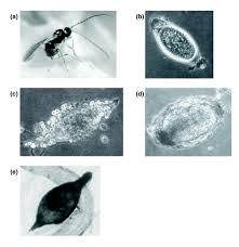 genome wide gene expression in response to parasitoid attack in