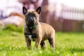 belgian malinois dog fawn and black belgian malinois puppy on green grass free stock