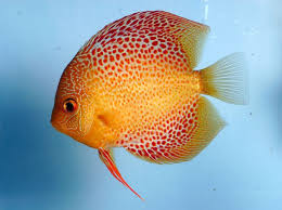 best 25 discus fish ideas on tropical fish colorful