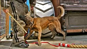 belgian shepherd malinois military the belgian malinois are still used as war dogs by the american