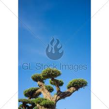 ornamental olive tree gl stock images