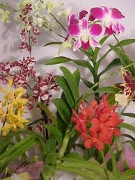 orchid plants hawaiian orchid of the month club and tropical of the month club