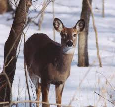 Iowa wildlife images Snow deer jpg