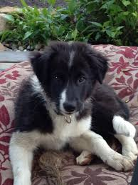 australian shepherd or border collie border collie australian shepherd german shepherd dog forums