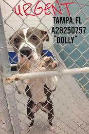 american pit bull terrier registry 782 best florida us lost dog registry images on pinterest