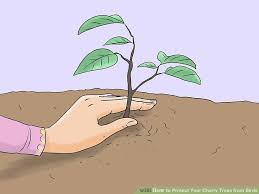 3 ways to protect your cherry trees from birds wikihow
