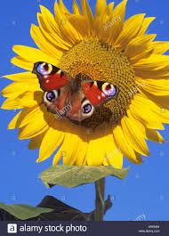 peacock butterfly on top of a sunflower nymphalis io stock photo