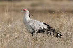 kenya bird photos by b j bergstrom