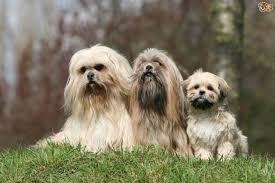 Dog Grooming Styles Haircuts Grooming Styles For The Lhasa Apso Pets4homes