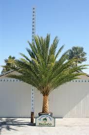 sylvester date palm tree sylvestris sylvestris palmco wholesale palms florida