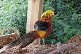 golden pheasants local classifieds for sale in the uk and