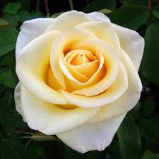 diana rose giftaplant rose diana