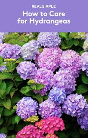 89 best hydrangeas images on pinterest gardening flowers and plants