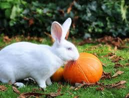 can rabbits eat pumpkin a halloween treat for bunnies nov 2017
