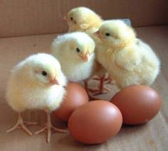 Count Your Chickens Before They Hatch Meaning Sayings Italiano With Jodina Part 2