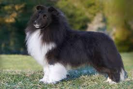 australian shepherd vs sheltie 7 reasons sheltie owners think their dogs are the best american