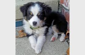 australian shepherd english bulldog mix australian shepherd puppy overload