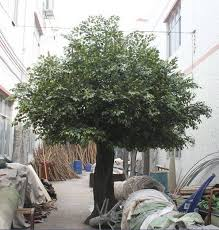 sell banyan ficus tree id 18626971 from guangzhou shengjie