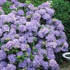 purple hydrangea nikko blue hydrangea american