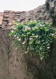 jaboticaba tree in flower fruit wine pinterest