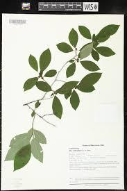 online virtual flora of wisconsin ilex verticillata