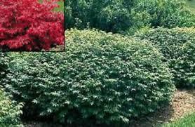 shrubs plant perfect