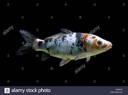 ornamental koi carp common carp cyprinus carpio carpio captive