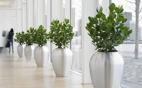 plantes bureau louer un arbre autographe clusier comme plante de bureau