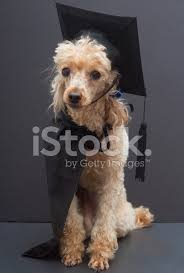 dog graduation cap and gown poodle in graduation cap and gown stock photos freeimages