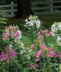 Long Blooming Annual Flowers - annual flower seeds u0026 plants buy u0026 grow flowers bulbs burpee com