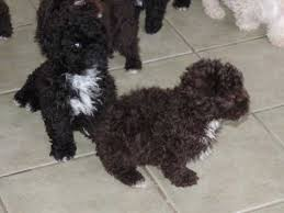 shi poo shihpoo dogs and puppies for sale in the uk pets4homes
