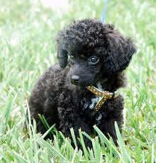 best 25 mini poodles ideas on pinterest poodle cuts toy poodle