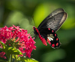 solar panels might get more efficient thanks to a butterfly
