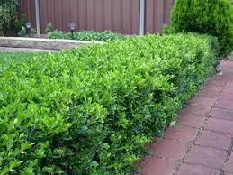 hedging plants budget wholesale nursery box hedge plants hedging plants sydney melbourne brisbane