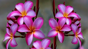 plumeria flowers plumeria flower pink 1575 2560x1600 wallpapers13