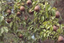 growing pear trees tips for the care of pear trees