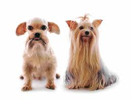 pictures of shorkie dogs with long hair shih tzu yorkie mix a k a shorkie ultimate home life